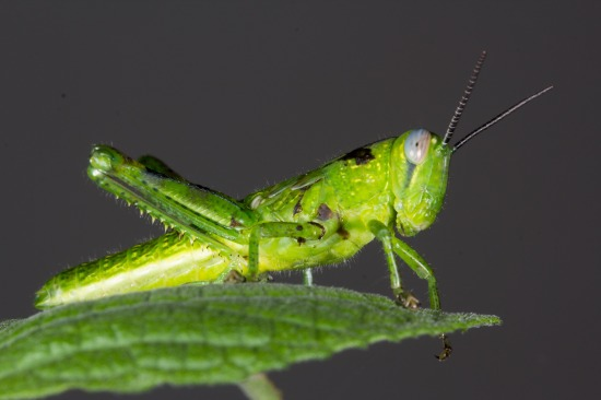Grasshopper,