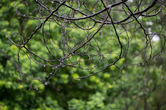 Raindrops on skeletal tree, Nerima Gardens