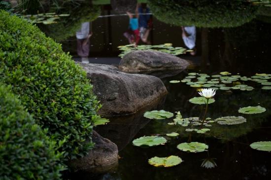 Waterlily, Japanese Garden, Mt Coot-tha Botanic Gardens