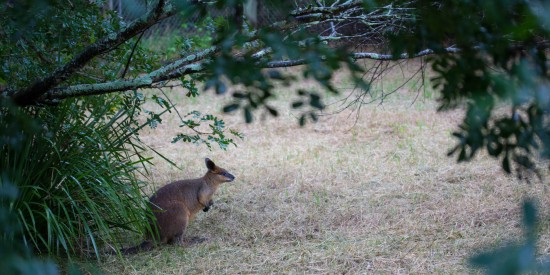 Swamp Wallaby (Wallabia bicolor) sheltering from the rain - Nature Centre, Queens Park Ipswich