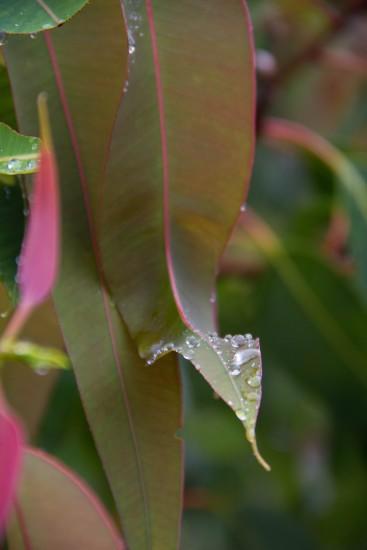 Rain drops pooling on Eucalyptus leaf