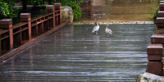 Good weather for ducks - Nerima Gardens bridge