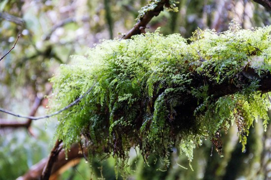 Bizarre tree-borne fern and moss colonies, McLean Falls track, The Catlins