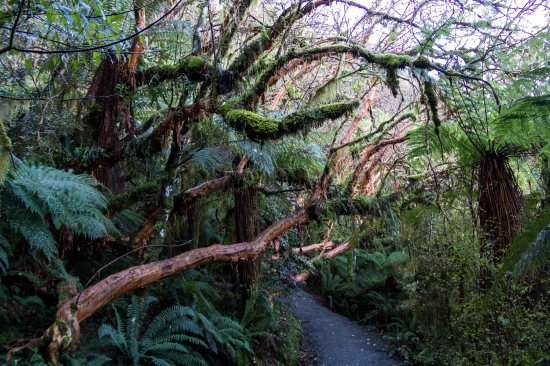 Sculptural trees, McLean Falls track, The Catlins
