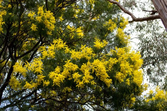 Wattle in flower, Macedon Ranges