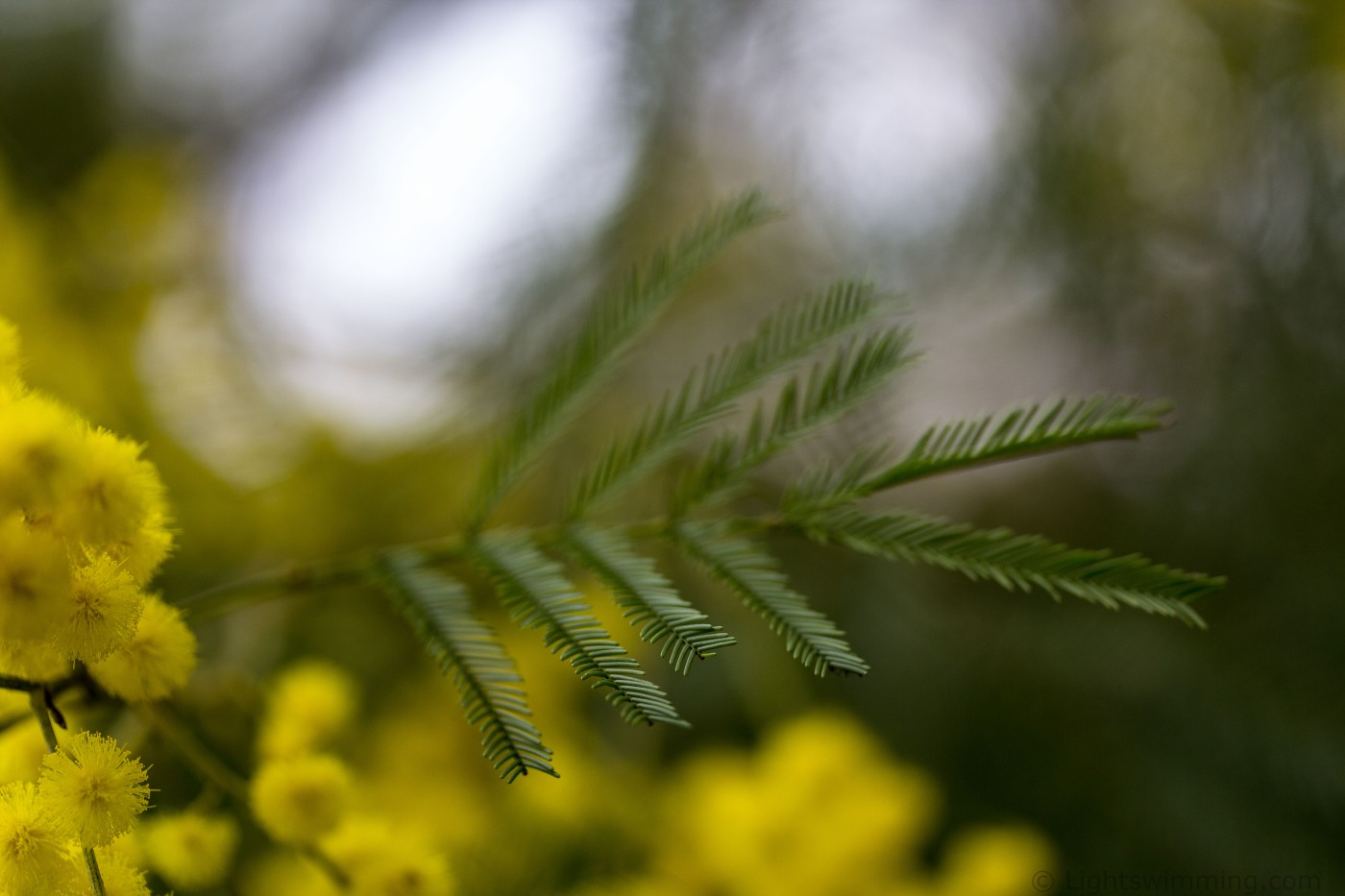 Wattle flower and new leaves up close, Macedon Ranges