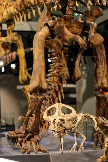 Dinosaur walk, Melbourne Museum